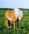 Finnhorses-2.jpg