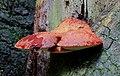 Fistulina hepatica, Beefsteak Fungus, Enfield, UK.jpg