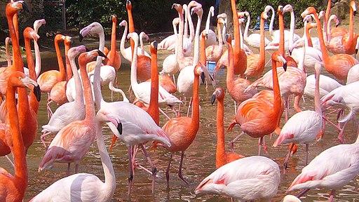 Flamingo03 960