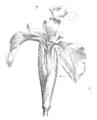 Fleur.iris.png