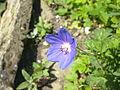 Fleur de géranium perpétuel à Grez-Doiceau 001.jpg