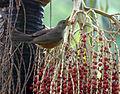 Flickr - Dario Sanches - SABIÁ-LARANJEIRA (Turdus rufiventris) (12).jpg