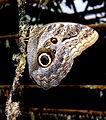 Flickr - Per Ola Wiberg ~ mostly away - butterfly ~~ fjärilshuset.jpg