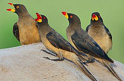 Flickr - Rainbirder - Yellow-billed Oxpeckers (Buphagus africanus).jpg