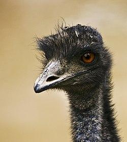"""引发战争的澳洲特有鸟类鸸鹋,又称""""澳洲鸵鸟"""""""