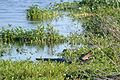 Flickr - ggallice - Basking gator.jpg