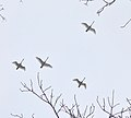 Flock of Swans Flying Over Red Hill Valley.JPG