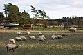 Flock of sheep in Gåseberg.jpg