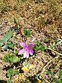 Flor Silvestre en primavera.jpg