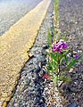 Flower growing on I-5 overcrossing in Albany - Chris Weigel (11409426413).jpg