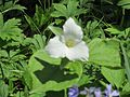 Flowered Trillium 2016-05-10 076.jpg