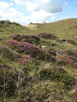 Flowering heather plants - geograph.org.uk - 946406