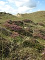 Flowering heather plants - geograph.org.uk - 946406.jpg