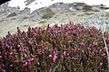 Flowers of Jablanica Mountain, Struga 17.jpg