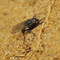 Fly basking on the sand, Sand Hills, Sandy, Bedfordshire (17115147958).jpg