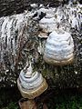 Fomes fomentarius- the Tinder Conk - Flickr - Dick Culbert.jpg