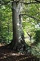 """Forêt de Desvres Cépée de hêtre labellisée """"Arbre Remarquable de France"""".jpg"""
