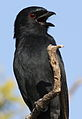 Fork-tailed Drongo, Dicrurus adsimilis, at Mapungubwe National Park, Limpopo, South Africa (18839328671).jpg