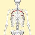 Fourth rib back2.png