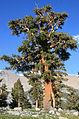 Foxtail pine Pinus balfouriana subsp austrina Big Arroyo.jpg