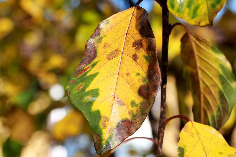 File:Frangula-alnus-autumn-leaf.JPG