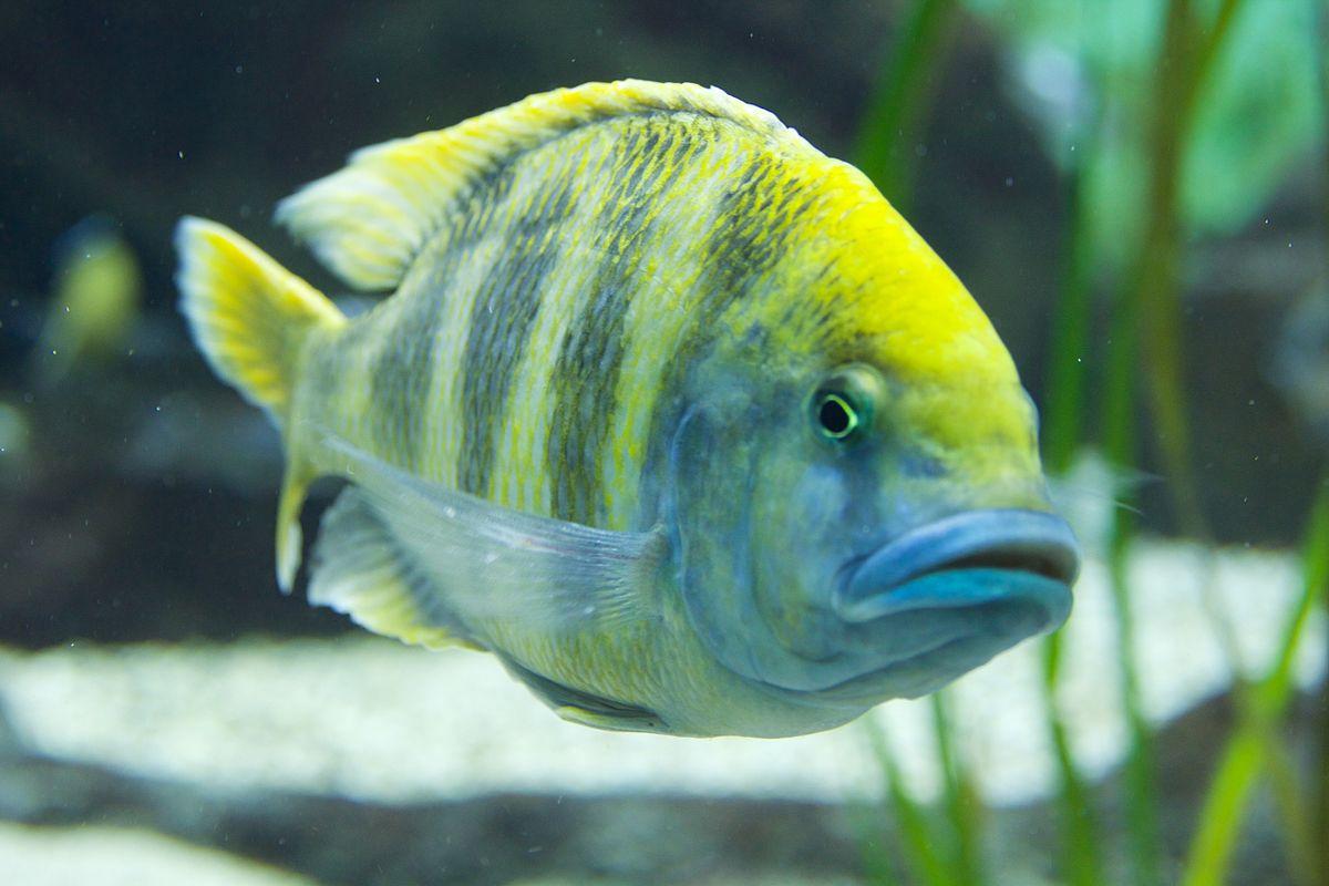 nimbochromis venustus wikipedia