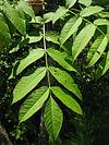 Fraxinus nigra leaves