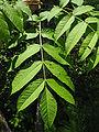Fraxinus nigra leaves.jpg