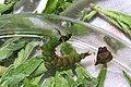 Freeliving caddisfly larva, Rhyacophila fuscula (27703175082).jpg