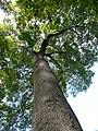 Freixe americà de l'antic jardí botànic P1250811.jpg