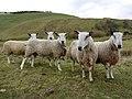 Friendly sheep on Ewe Hill - geograph.org.uk - 1204468.jpg