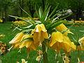 Fritillaire-imperiale-jaune.JPG