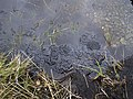 Frog spawn, Lendrum's Bridge - geograph.org.uk - 1205539.jpg