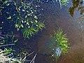 Frogspawn near Sandyway Heads, Ingoe - geograph.org.uk - 1191050.jpg