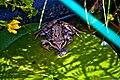 Frosch IMG 5485.jpg