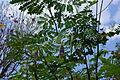 Fruit Caesalpinia pulcherrima 2.JPG