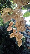 Fruits of Koelreuteria elegans - Καρποί της Κοιλρεουτερίας η κομψή 02.jpg