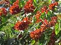 """Frutos imaturos de """"Escova-de-macaco"""" - Combretum fruticosum - Combretaceae - Liana semilenhosa - trepadeira 06.jpg"""
