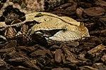Gabunviper Bitis gabonica-7848.jpg