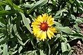 Gaillardia aristata kz01.jpg