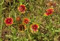 Gaillardia pulchella in Lampasas County, TX, USA.png