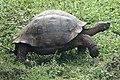 Galapagos Tortoise (47715161942).jpg