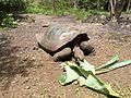 Galapagos tortoise in 2013.JPG