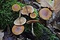 Galerina marginata; DSC 0662.jpg