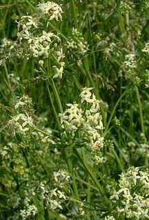 <i>Galium album</i> Species of plant