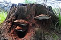 Ganoderma lipsiense Syn. Ganoderma applanatum (Artist's Bracket or Artist's Conk, D= Flacher Lackporling, F= polypore aplani, NL= Platte tonderzwam) with lots of brown spores at Hoge Erf Schaarsbergen - panoramio.jpg