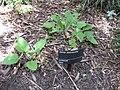 Gardenology.org-IMG 0073 rbgm10dec.jpg