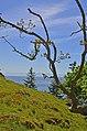 Garry Oak, San Juan Islands (14964184117).jpg