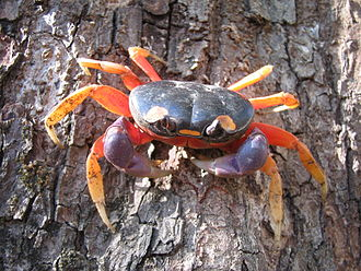 Crab - Gecarcinus quadratus, a land crab from Central America