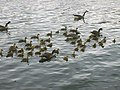 Geese on Sale Water Park - geograph.org.uk - 826168.jpg